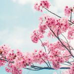 Cherry Blossom Sakura Spring