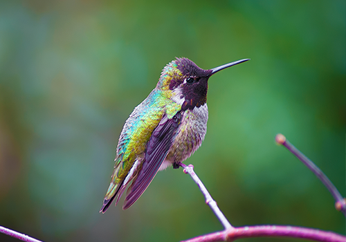 Anna's hummingbird Colour Image
