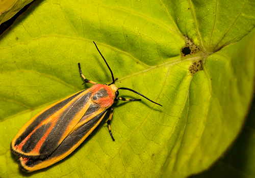 The Painted Lichen Moth Image