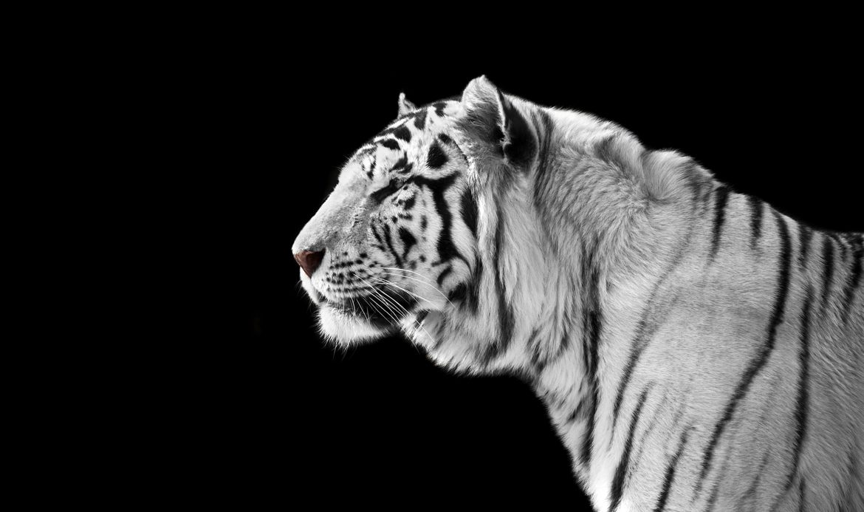tiger_picx