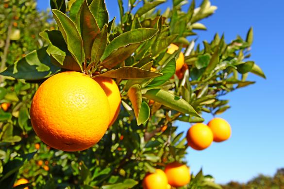 Florida's oranges